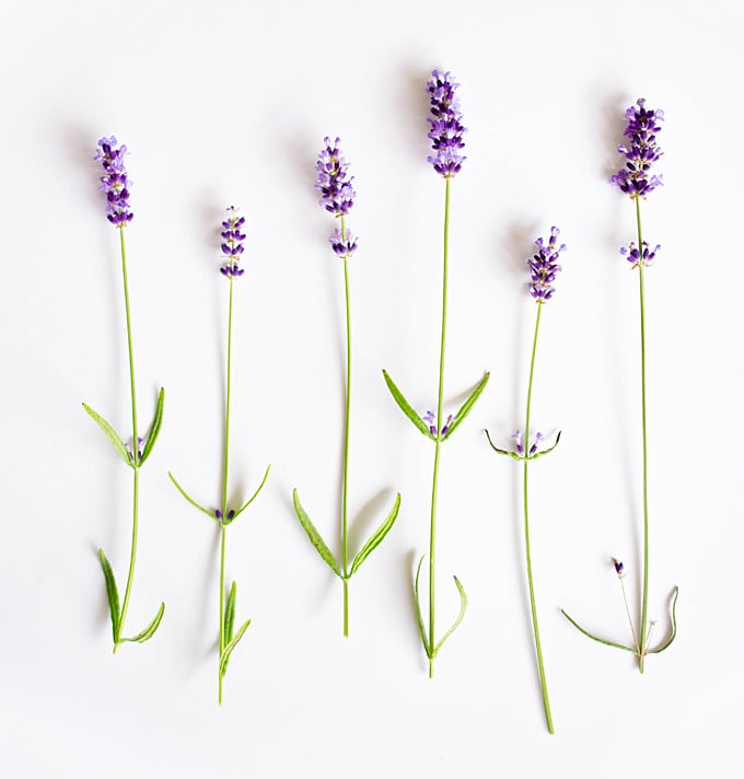 Everything you need to know about cooking with lavender! How to buy it, store it, pair it with other flavors, and cook it.
