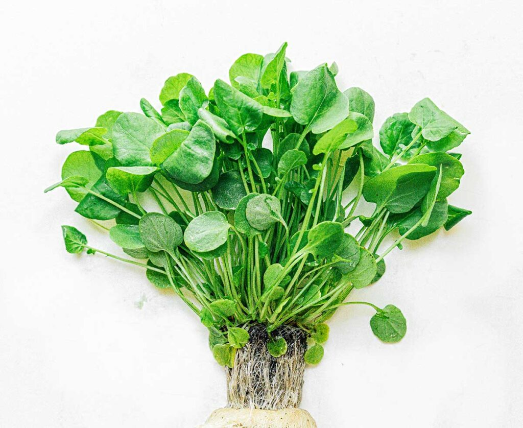 Watercress leaves attached to root on a white background