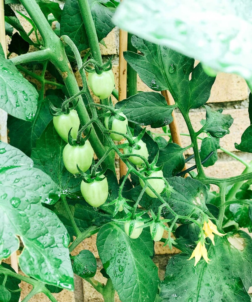 Tomatoes growing on a vine