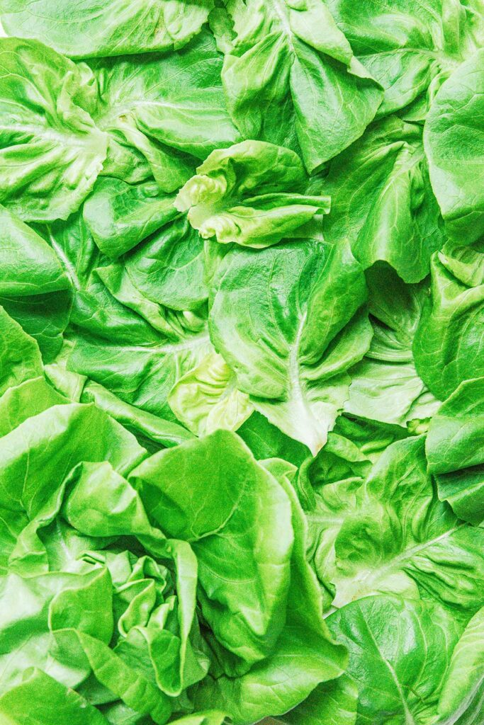 A close-up image detailing the texture and color of butterhead lettuce leaves