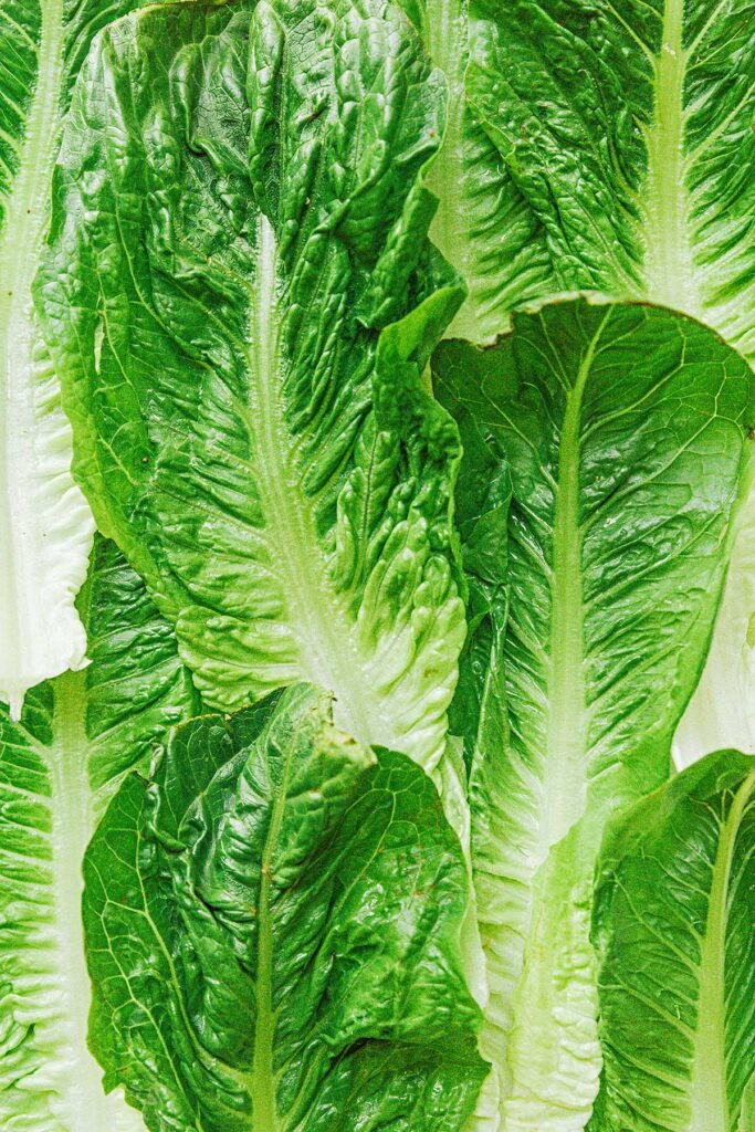 A up-close view detailing the texture of whole romaine leaves